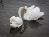 Swans in heat
