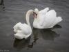 Swans in heat