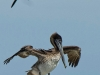 Pelican drying wings