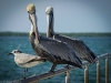 Two Pelicans and a Seagull in Cuba