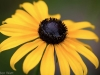 Wet black-eyed Susan