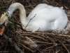 A Mother Swan in her Nest