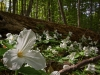 Trilliums Everywhere