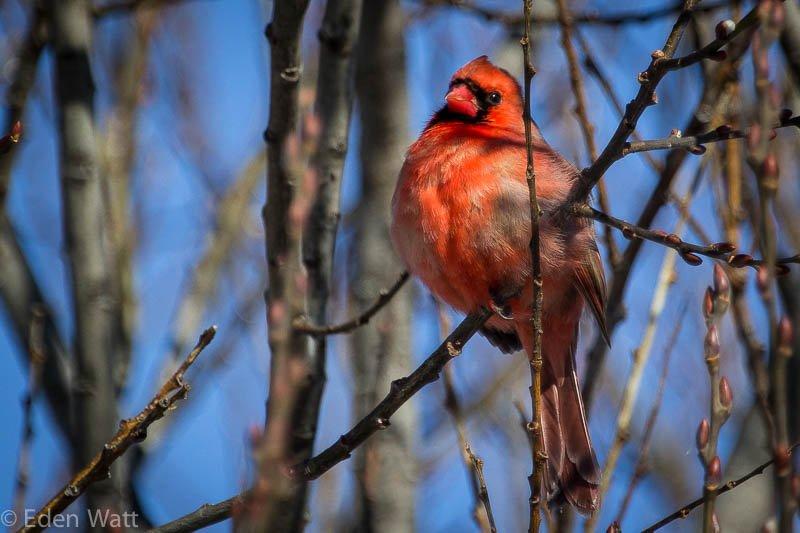 Cardinal Singing in Winter