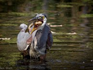 Hungry-Heron