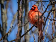 Cardinal-Singing-in-Winter